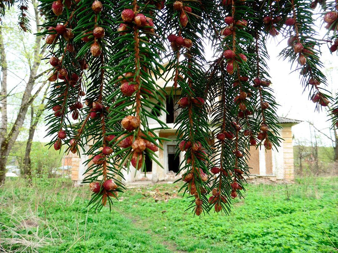 В усадьбе Ляхово «зацвела» историческая ель