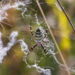 Колония паука-пришельца у с. Домодедово